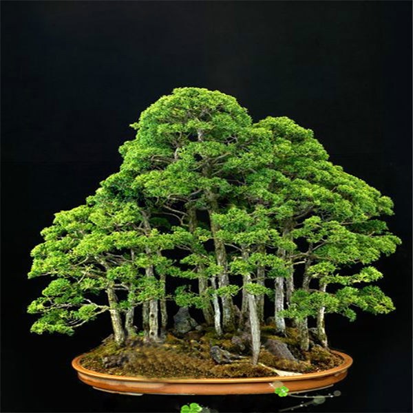 20 Rare Beautiful Juniper Bonsai Tree Seeds Potted Flower Office Bonsai Purify The Air Absorb Harmful Gases