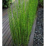 Can Be Grown Indoors Fresh Moso Bamboo Seeds Tree Seeds 60PCS DIY Home Garden