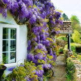 ZLKING 10 PCS Rare Chinese Beautiful Creepers Wisteria  Outdoor Ornamental Perennial Flowers For The Garden Fast Growing
