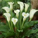 2 pieces true calla lily bulbs, Elegant noble flower, plants to give Garden decoration, Seeds of perennial garden flowers