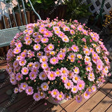 100 pcs/bag Ground-cover Chrysanthemum Seeds Perennial Bonsai Flower Seeds Daisy Potted Plant For Home Garden