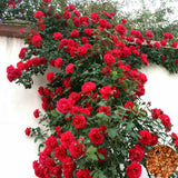 Climbing Rose Seed Outdoor Potted Bonsai Plants Rose  Rosa Perennial Flowers Plant For Home Garden 100 Pcs