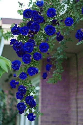 100Pcs Blue Climbing Roses Seeds,Climbing Plants ,Chinese Flower Seeds Perennial Flower Seeds for Garden Planting Gift for Wife