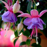 Fuchsia lanterns flower seeds Indoor balcony living room Begonia Bell pot flower seeds, 10 seeds