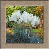 Pampas Grass Seed Patio and Garden Potted Ornamental Plants New Flowers (Pink Yellow White Purple) Cortaderia Grass Seed 100 Pcs