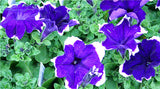 100pcs/bag great petunia seeds bonsai flower seeds Great morning glory seeds potted plant for home garden