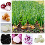 100 Pcs Onion Seeds Vegetable Seeds 95% High Germination Vegetable Chinese Allium Cepa Healthy Vegetable Seeds For Home Garden