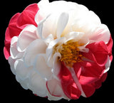 10 seeds Rare White Red Dahlia Seeds  Charming Chinese Flower Seeds Bonsai Plants for Garden