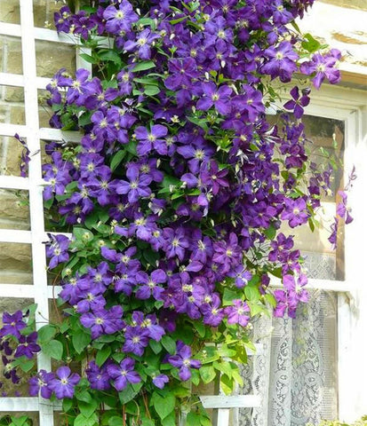 100pcs Rare Mix Beautiful Clematis Bonsai Flower Seeds Diy Perennial