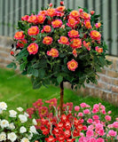 100pcs Rose Tree Aromatic Pleasant Smelling Fragrant Bonsai Tree Flower Seed, rose tree plant Balcony & Yard potted for home garden