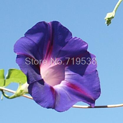 Twining vines, morning glory seeds mix garden planting Daffodil 10 seeds