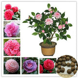10 Seeds / Pack Camellia Seeds, Flower Seeds, Diy Potted Plants, Indoor / Outdoor Pot Seed Germination Rate Of 95%