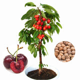 10 Pcs/Bag Cherry Bonsai Fruit Seeds Sweet Sylvia Upright Cherry Self-Fertile Dwarf Tree Seeds Plant Pot Home Garden