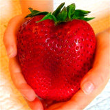 1000 Giant Strawberry Seeds,Rare,Big as a Peach,very delicious Fruit Strawberry fruit seeds for home garden