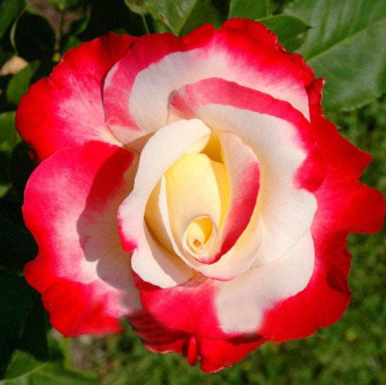 Double Delight Hybrid Tea Rose Seed DIY Home Garden Bush Bonsai Yard Flower So Unique 120PCS