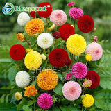 Rare Yellow Orange Dahlia Seeds Chinese Flower Seeds Bonsai Plants for Garden 50pcs per pack