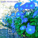 50pcs/bag Picotee Blue Morning Glory plants rare petunia seeds,bonsai flower seeds,plant for home garden Easy to Grow Flores