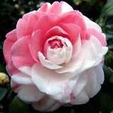 Camellia seeds, Camellia flowers seeds 24kinds color for chose 1pcs seed
