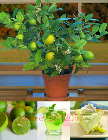 20pcs/bag kaffir lime seeds (Citrus aurantifolia) organic fruit seeds, BONSAI fruit lemon tree for home garden