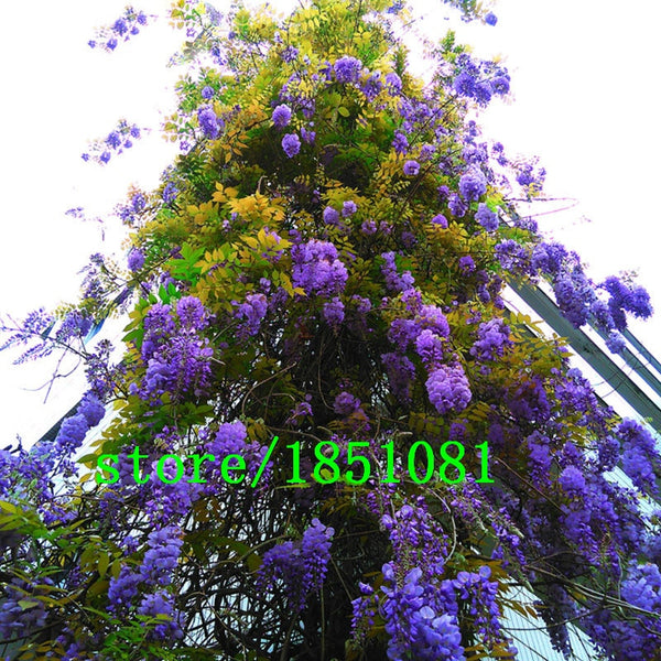 Hot Sale Unique Bonsai Plant Blue Wisteria Tree Seeds Indoor Ornamental Plants Seeds Wisteria Flower Seeds 15PCS Free Shipping