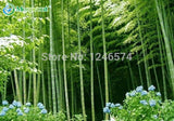 Huge 100 seeds Giant Phyllostachys pubescens moso bamboo seeds hardy - Giant