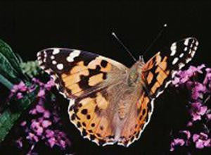 Butterfly Growing Coupon for 5 Larvae Butterflies/Food