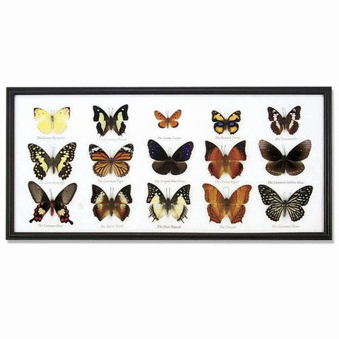 15 Butterfly Specimens on Cotton Back Wooden Frame