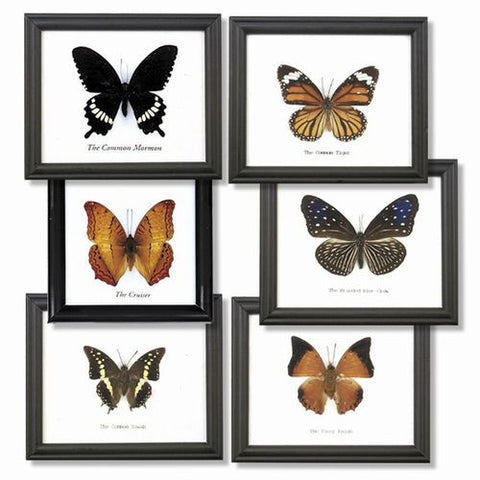 6 Butterflies, Assorted Specimens, Individually Framed