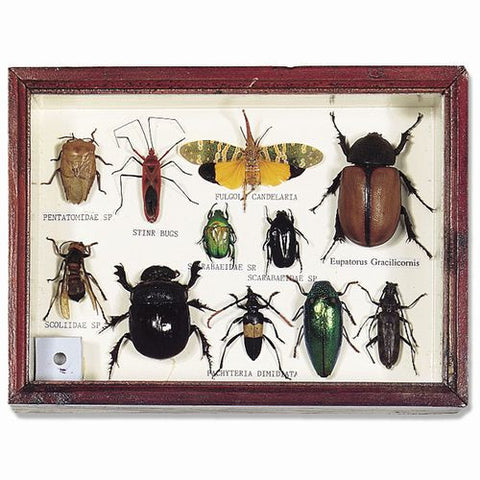 Bunch O'Bugs Insect Specimens Set In Wood Frame 6x8 Specimens Vary