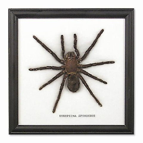 Single Real Spider Tarantula in Black Wooden Display Frame