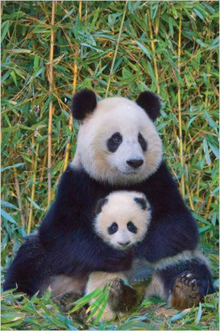 A Panda Bear & Its Baby - Wildlife Poster, 24x36