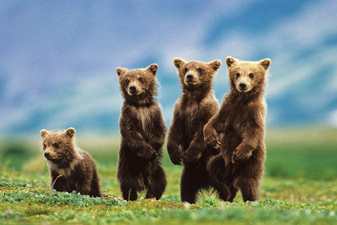 Bear Cubs - Wildlife Poster, 24x36