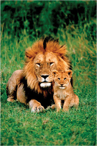 A Lion and His Cub - Wildlife Poster 24x36