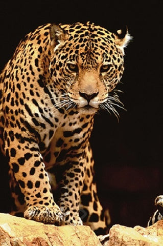 The Leopard - Wildlife Poster, 24x36