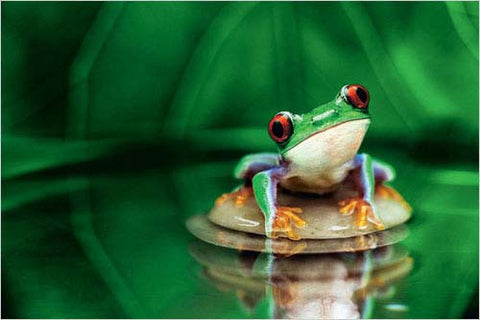 The Red-Eyed Tree Frog - Wildlife Poster, 24x36