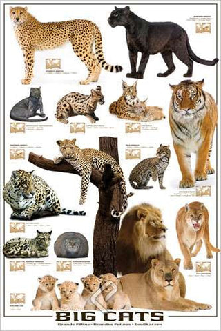 Big Cats 24x36 Inch Full Color Wildlife Biological Poster