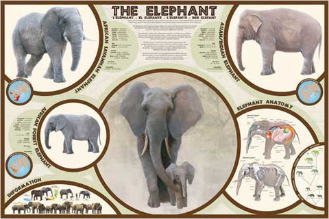 Types of Elephants and Their Anatomy - Wildlife Poster, 24x36