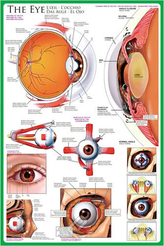 Anatomy of the Human Eye - Biology Poster, 24x36