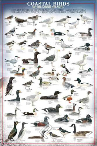 Coastal Birds of the North Atlantic Coast - Wildlife Poster, 24x36