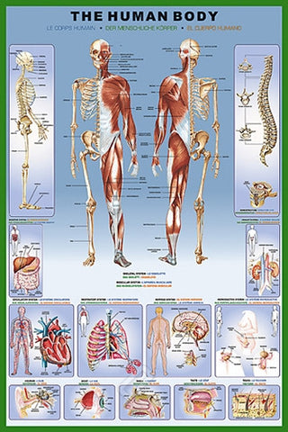 An In-Depth View of the Human Body - Biology Poster, 24x36