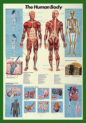 Basics of the Human Body - Anatomy Poster, 26x38