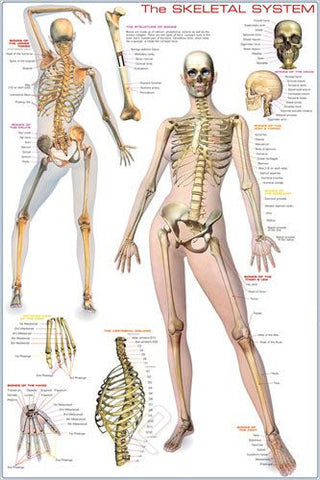 Basics of the Human Skeletal System - Anatomy Poster, 24x36