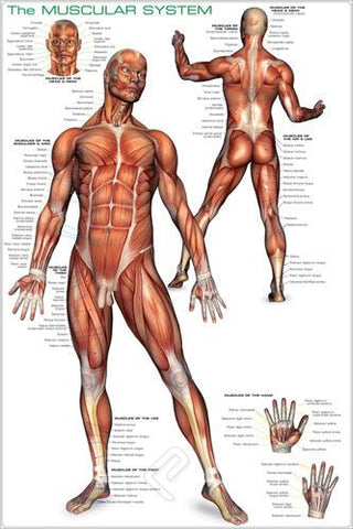 The Human Muscular System - Anatomy Poster, 24x36