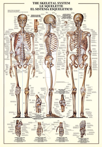 Human Skeletal System - Advanced Anatomy Poster, 26x38