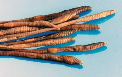 Preserved 10 inch Earthworm Plain Pack (100)