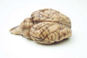Preserved Sheep Brain without Hypophysis, Student Grade