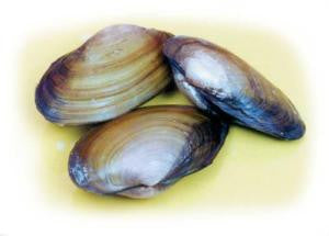"Preserved 4-5"" Clam, plain"