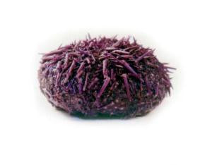 Preserved Sea Urchin, Plain