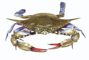Preserved Blue Crabs Pack Of 10