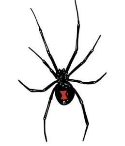 Pack of 10 Preserved Black Widow Females for Dissection